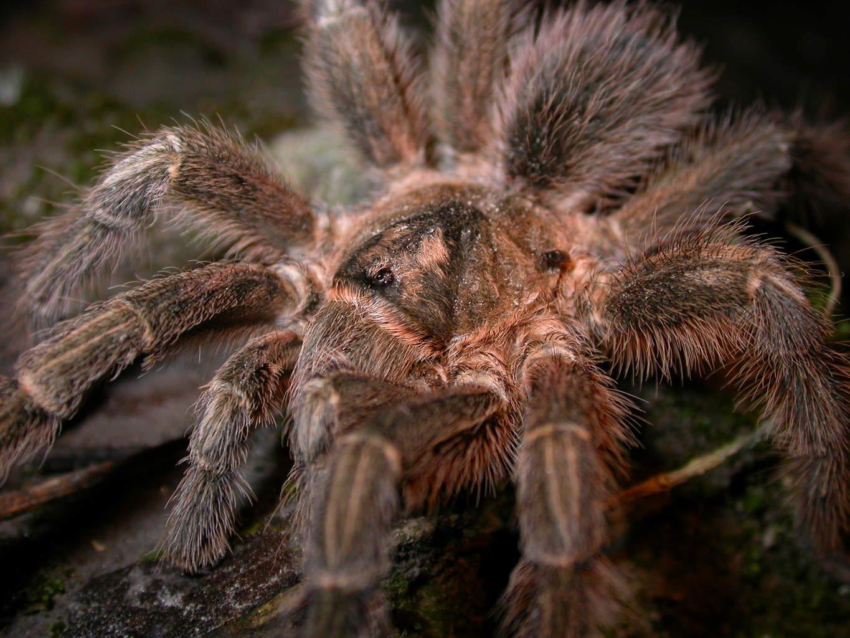 adult-montserrat-tarantula-1