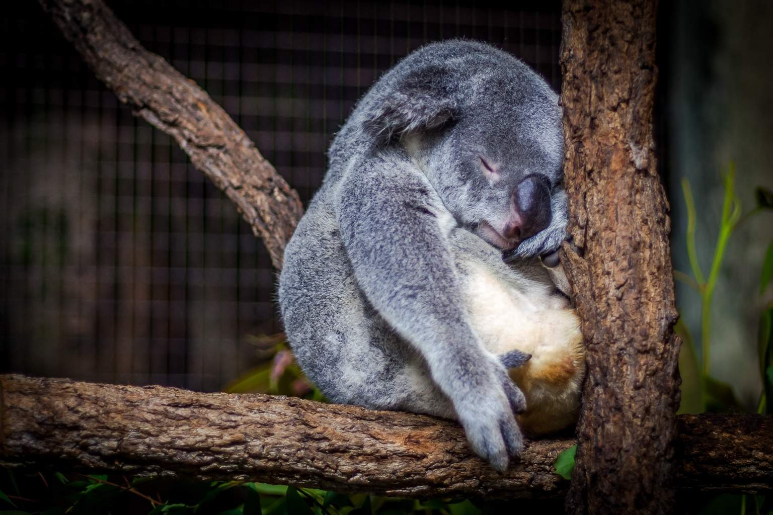 sleep-koala